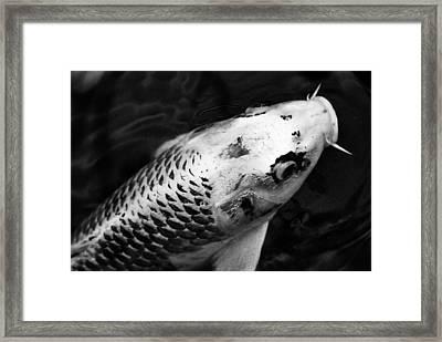 KOI Framed Print by Fraser Davidson