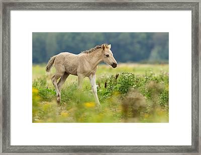 Konik Horse Foal Running Through A Grass Field Framed Print by Roeselien Raimond