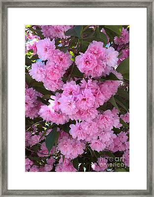 Kwanzan Cherry Tree Blossoms Framed Print by Carol Groenen