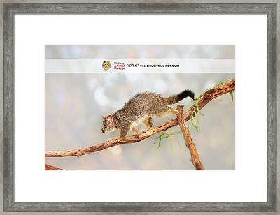 Kyle The Brushtail Possum, Native Animal Rescue Framed Print by Dave Catley