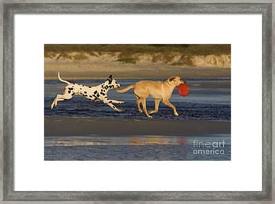 Labrador And Dalmatian Framed Print by Jean-Louis Klein & Marie-Luce Hubert
