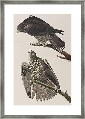Labrador Falcon Framed Print by John James Audubon