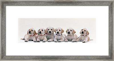 Labrador Puppies Framed Print by Panoramic Images