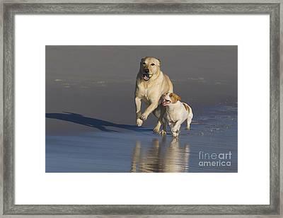 Labrador Retriever And Jack Russell Framed Print by Jean-Louis Klein & Marie-Luce Hubert