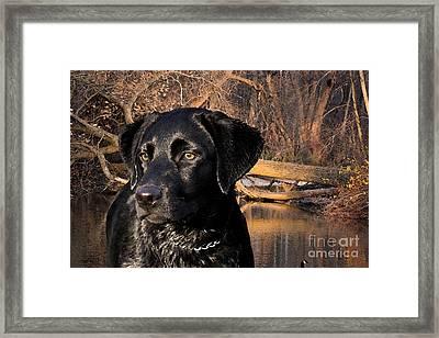 Labrador Retriever Framed Print by Cathy  Beharriell