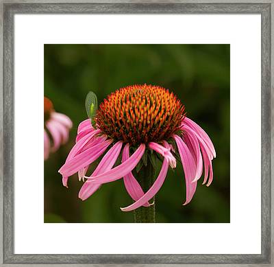 Lacewing On Echinacea Blossom Framed Print by Jean Noren