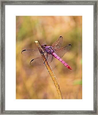 Lady In Pink Framed Print by Elizabeth Budd