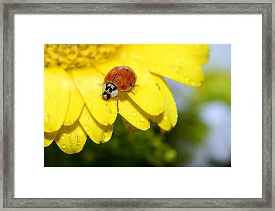 Ladybird Beetle A Ladybug Framed Print by Laura Mountainspring