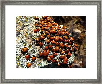 Ladybugs Framed Print by George Tuffy