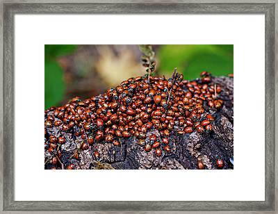 Ladybugs On Branch Framed Print by Garry Gay