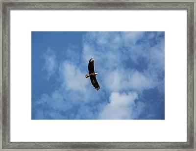 Lake Caroline Eagle Framed Print by Scott Pellegrin