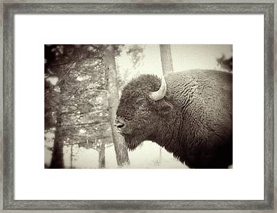 Lamar Valley Bison Framed Print by Mike Buchheit