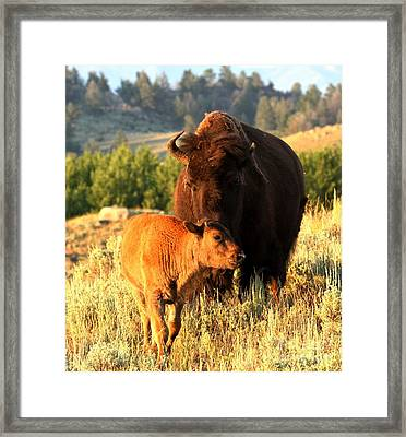 Lamar Valley Mom And Calf Bison Framed Print by Adam Jewell