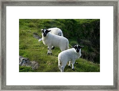 Lambs In Farm Landscape Framed Print by Aidan Moran
