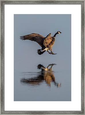 Landing Canadian Goose Framed Print by Paul Freidlund