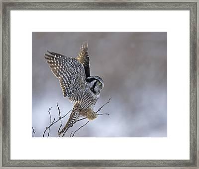 Landing Hawk Owl Framed Print by Tim Grams