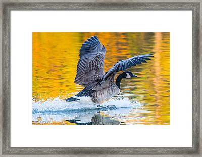 Landing In Fall Colors Framed Print by Parker Cunningham