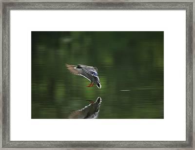 Landing Framed Print by Karol Livote