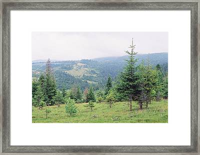 Landscape With Firs Framed Print by Anton Popov