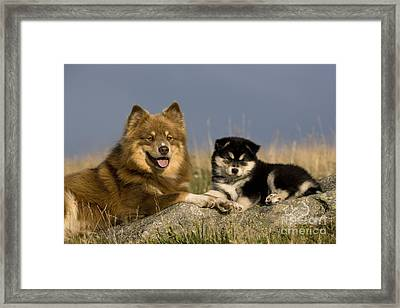 Lapinkoira Dog And His Pup Framed Print by Jean-Louis Klein & Marie-Luce Hubert