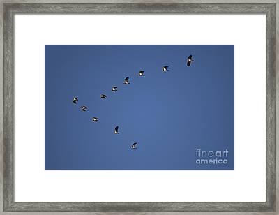 Lapwing Flock Framed Print by Per-Olov Eriksson