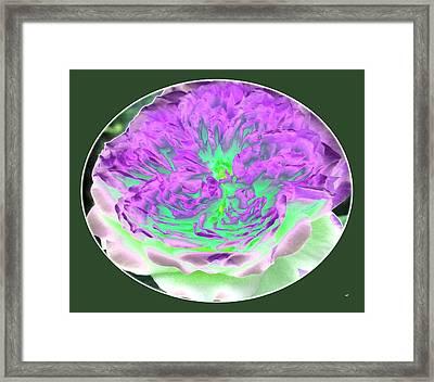 Laraine Rose Framed Print by Will Borden