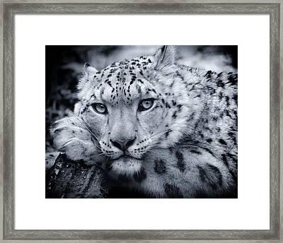 Large Snow Leopard Portrait Framed Print by Chris Boulton