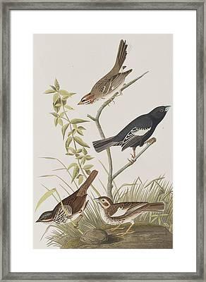 Lark Finch Prairie Finch Brown Song Sparrow Framed Print by John James Audubon