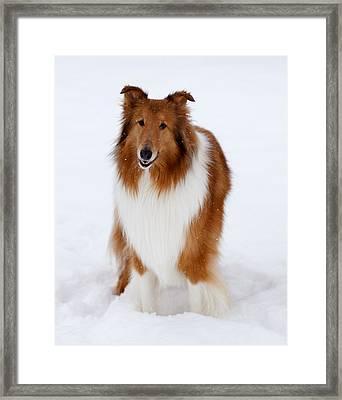 Lassie Enjoying The Snow Framed Print by Shane Holsclaw