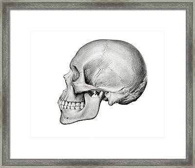 Lateral View Of Human Skull Framed Print by German School