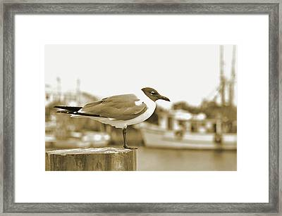 Laughing Gull Framed Print by A R Williams