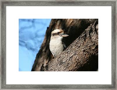 Laughing Kookaburra  Framed Print by Tony Brown