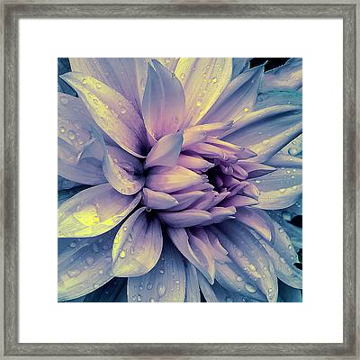 Lavender And Pink Dahlia And Water Drops Framed Print by Julie Palencia