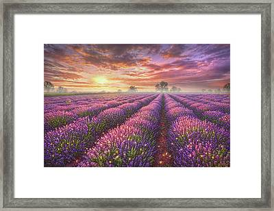 Lavender Field Framed Print by Phil Jaeger