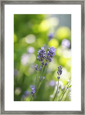 Lavender Garden Framed Print by Frank Tschakert