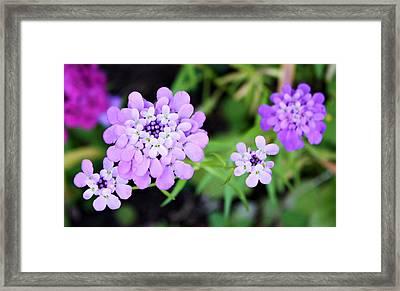 Lavender Hue Framed Print by Cathie Tyler
