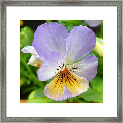 Lavender Pansy Framed Print by Nancy Mueller