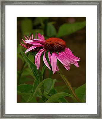 Leaning Echinacea  Framed Print by Jean Noren