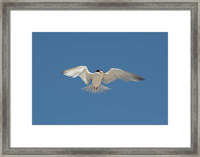 Least Tern 2 Framed Print by Kenneth Albin