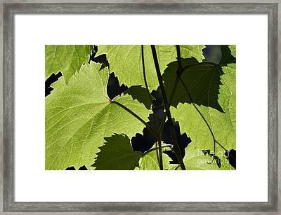 Leaves Of Wine Grape Framed Print by Michal Boubin