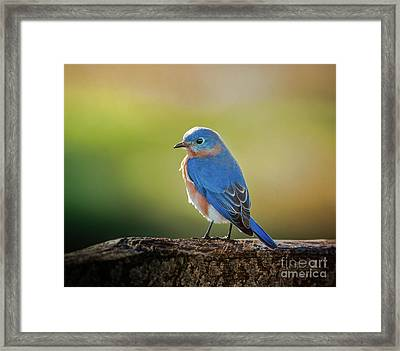 Lenore's Bluebird Framed Print by Robert Frederick