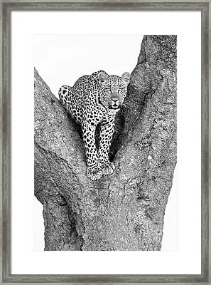 Leopard In A Tree Framed Print by Richard Garvey-Williams