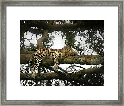 Leopard Napping Framed Print by Joseph G Holland