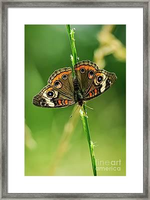 Lepidoptera Framed Print by Charles Dobbs