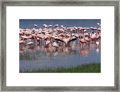 Lesser Flamingo, Lake Nakuru, Kenya Framed Print by Aidan Moran