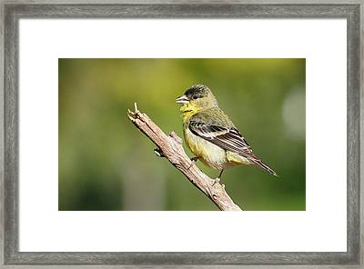 Lesser Goldfinch Framed Print by Andrew Johnson