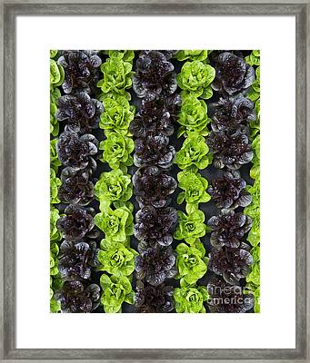 Lettuce Rows Framed Print by Tim Gainey