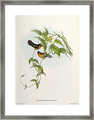 Leucippus Fallax Framed Print by John Gould