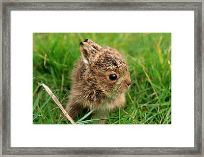 Leveret In The Grass Framed Print by Aidan Moran
