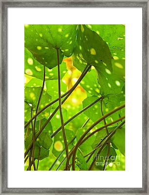 Ligularia Tussilaginea Framed Print by Carlos Caetano